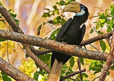 Hornbill - Sali Bay, South Halmahera