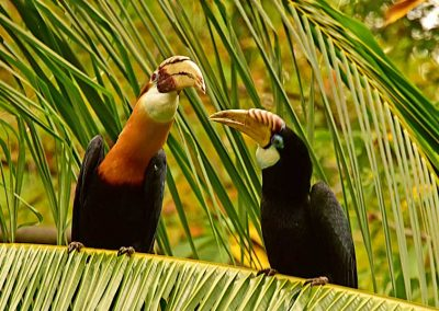 Hornbills - Sali Bay, South Halmahera