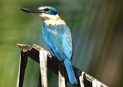 Kingfisher at Sali Bay resort, Halmahera