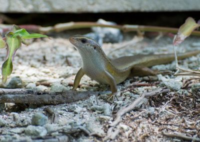 Lizard - Sali Bay, South Halmahera