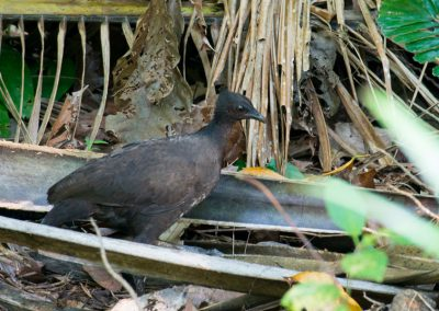 Maleo Bird, Sali Bay - South Halmahera