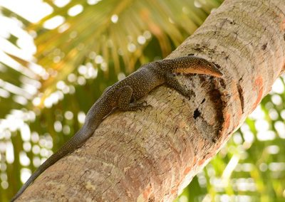 Monitor Lizard - Sali Bay Resort, Halmahera