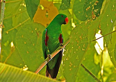 Parakeet - Sali Bay, South Halmahera