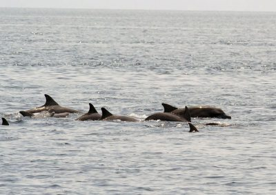 Dolphins - Sali Bay, South Halmahera